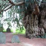 Yew_Tree_in_Dartington_Hall_Gardens_-_geograph.org.uk_-_312595
