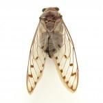 mep spotty cicada